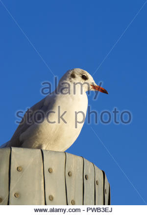 Seagull sitting on wooden post in harbor - Stock Photo