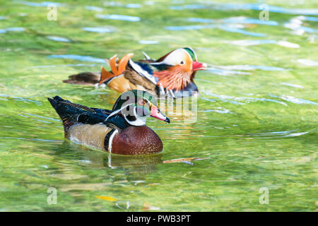 Male Wood Duck and Male Mandarin Duck, Wild duck was introduced as a pet is a colorful floating on the surface of the clear water happily