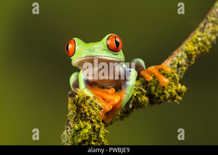 Close-up of red-eyed tree frog (Agalychnis callidryas), a colourful amphibian species, on a twig
