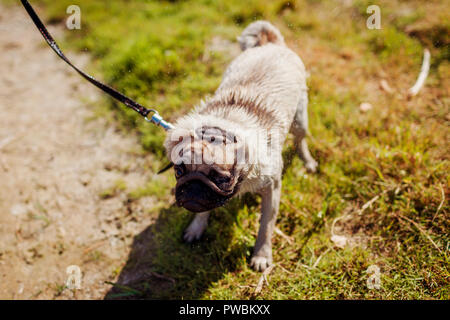 Master walking pug dog on leash by river. Funny puppy shaking off water - Stock Photo