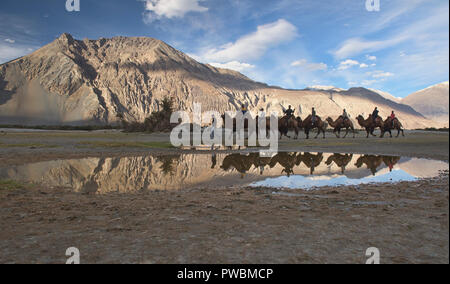 Bactrian camels in the Karakoram Mountains, Hundar, Nubra Valley, Ladakh, India - Stock Photo