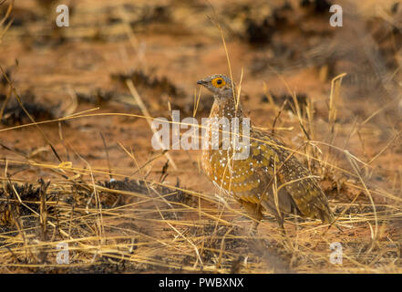 A burchell's sandgrouse skulks in a grassy patch in the African bush image with copy space in landscape format - Stock Photo