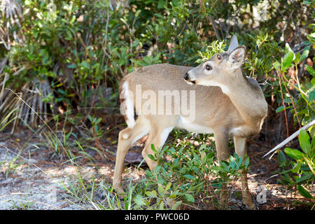 Odocoileus Virginianus Clavium, Key Deer on Jack C Watson Trail on Big Pine Key, Florida Keys, Florida, USA - Stock Photo