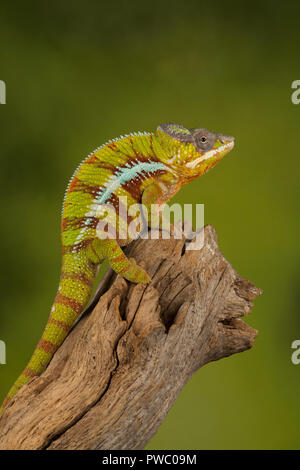 Panther chameleon (Furcifer pardalis), a colourful reptile from Madagascar - Stock Photo