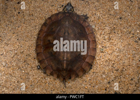 Malayan Flat-Shelled Turtle (Notochelys platynota) - Stock Photo