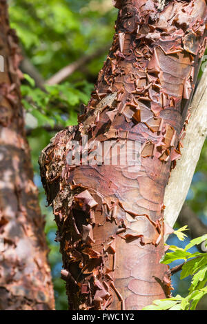 Closeup of peeling bark on the trunk of a Paperbark Maple tree (Acer griseum), a reddish tree growing in Autumn in the UK. - Stock Photo