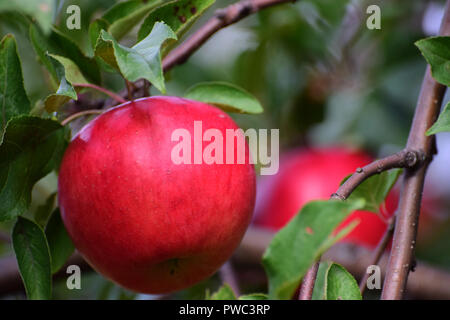 Red apples on a tree - Stock Photo
