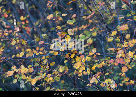 Yellow autumn leaves on branches full frame background - Stock Photo