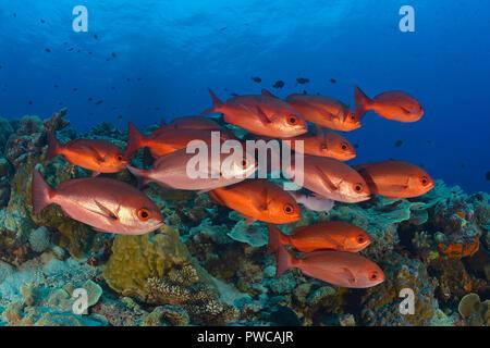 Rote Pinjalo Schnapper (Pinjalo lewisi), Papua Neu Guinea | Slender Pinjalos (Pinjalo lewisi), schooling, Papua New Guinea - Stock Photo