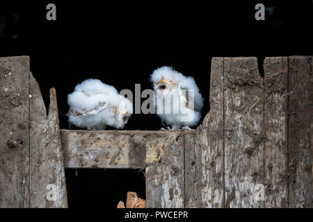 A pair of young Barn Owl chicks  Tyto alba perching on a broken wooden barn gate - Stock Photo