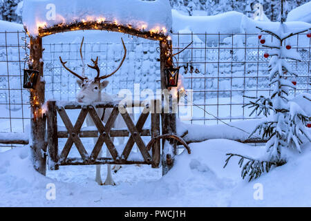 White reindeer with horns in deer enclosure in Lapland, Finland. Deep clean snow covers ground,  enclosure and fir tree near it. Wooden gate decorated - Stock Photo