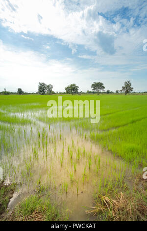 Green rice field in a cloudy day Sukhothai Province, Thailand - Stock Photo