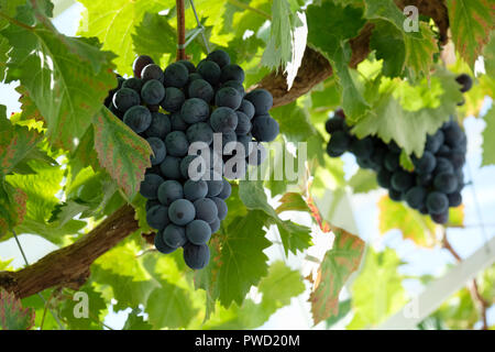 Black table grapes (Vitis vinifera) hanging from the vine in a greenhouse, Sussex, England, UK - Stock Photo