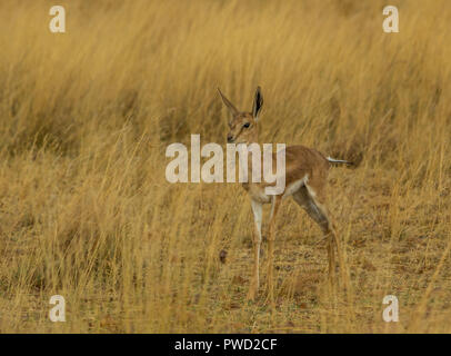 A young springbok calf hides in the grass on the African plains image with copy space in landscape format - Stock Photo