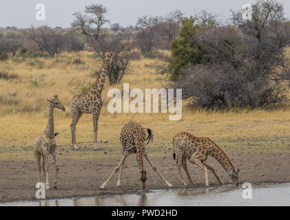 Giraffes drink water at a waterhole in the African wilderness image with copy space in landscape format - Stock Photo