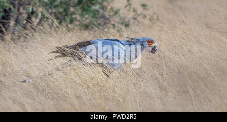 Secretary bird with freshly caught prey in the African bush image with copy space in landscape format - Stock Photo