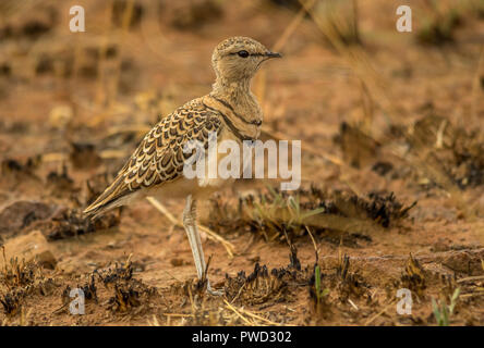 Double-banded courser stands quietly in a burnt patch of grass on the African plains image with copy space in landscape format - Stock Photo