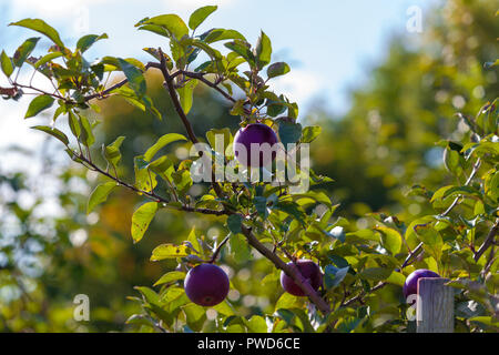 Hamilton, CANADA - October 14, 2018: Ripe  apples on trees in orchard ready for picking at farmer market in autumn - Stock Photo