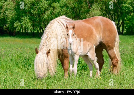 Haflinger horses, mare with a long flaxen mane and her cute foal standing close together in a green grass pasture - Stock Photo