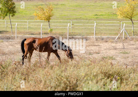 Brown horse is grazing in the meadow. - Stock Photo