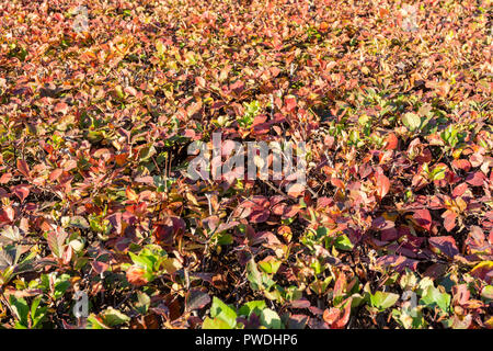 Berlin, Germany, October 10, 2018:  Full Frame Close-Up of Red Hedge - Stock Photo