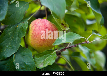 Eating apple, The Reverend Wilkes, growing on the tree - Stock Photo