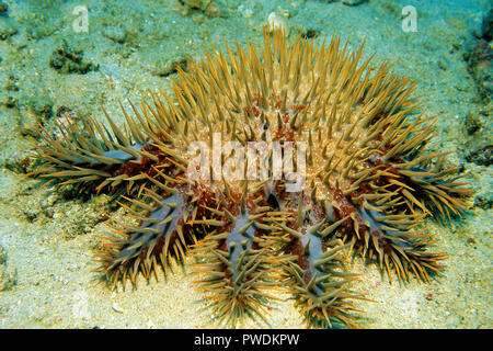Crown-of-thorns starfish (Acanthaster planci) laying on sea bed, Sabang Beach, Mindoro, Philippines - Stock Photo