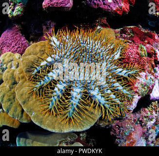 Crown-of-thorns starfish (Acanthaster planci) feeds on live coral, Yap island, Micronesia - Stock Photo