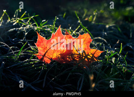 natural background with two beautiful bright Golden maple leaves lying on the grass covered with white frost in the morning autumn garden bathed in su - Stock Photo