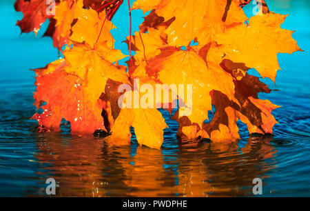 natural beautiful background with bright yellow and orange maple leaves touch the blue water on a clear autumn day and are reflected in it as in a mir - Stock Photo