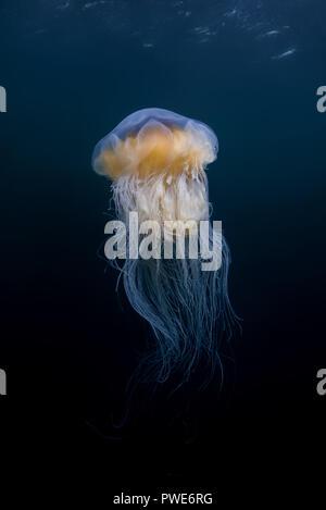Norwegian Sea, Northern Atlantic, Norway. 10th Aug, 2018. Lion's mane jellyfish (Cyanea capillata, Cyanea arctica) in the blue water Credit: Andrey Nekrasov/ZUMA Wire/Alamy Live News - Stock Photo