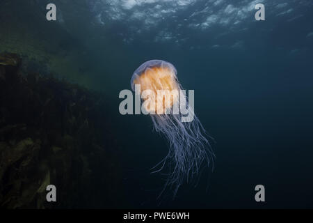 Norwegian Sea, Northern Atlantic, Norway. 10th Aug, 2018. Lion's mane jellyfish (Cyanea capillata, Cyanea arctica) in the blue water near reef Credit: Andrey Nekrasov/ZUMA Wire/Alamy Live News - Stock Photo