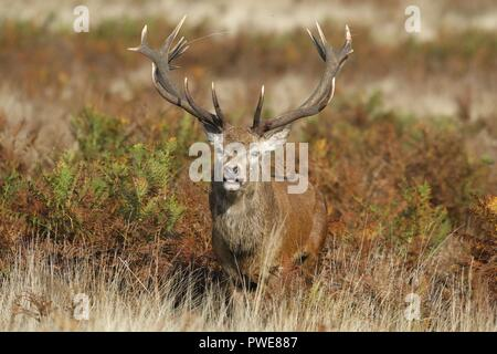 Richmond Park, London, UK.16th Oct 2018.uk weather.A red deer stag bellows in the morning sunshine in Richmond Park, London, UK. Credit:Ed Brown/Alamy Live News - Stock Photo