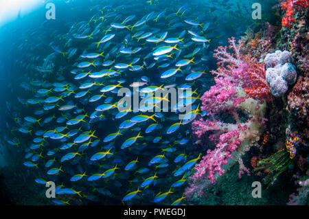 School of Yellowback fusiliers [Ceasio teres].  West Papua, Indonesia. - Stock Photo