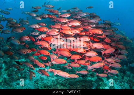Shoal of Slender pinjalo snappers, White-spot pinjalo snapper or Red pinjalo [Pinjalo lewisi].  West Papua, Indonesia. - Stock Photo