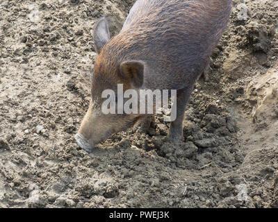 Portrait of a young wild boar (wild swine, wild pig, sus scrofa)