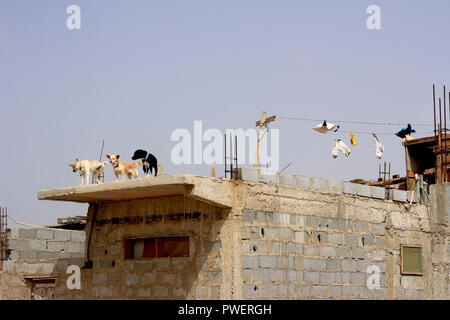 Dogs on guard in village of Sal, Cape Verde - Stock Photo