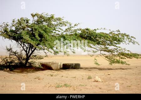 Windswept tree in Cape Verde, Sal - Stock Photo