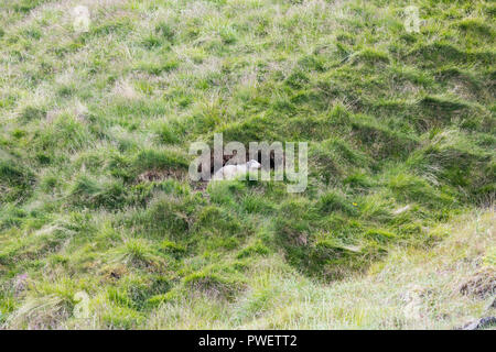 Icelandic sheep resting in a cave on iceland in summer - Stock Photo