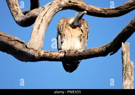 Rare Indian Vulture on Tree branch - Stock Photo