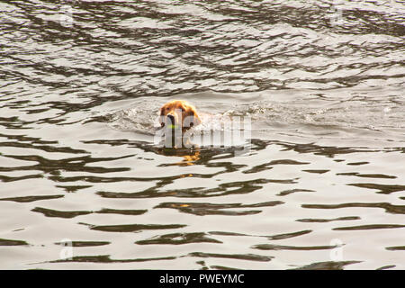 Dog playing fetch and retrieving tennis ball in water - Stock Photo