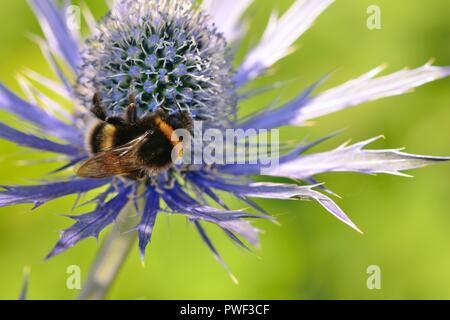 Macro shot of a bee pollinating an eryngium (eryngium amethystinium) flower - Stock Photo