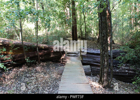 Walking along the Redwood Trail that passes through a fallen Redwood tree in the forest at Big Basin Redwoods State Park, Boulder Creek, California, U - Stock Photo