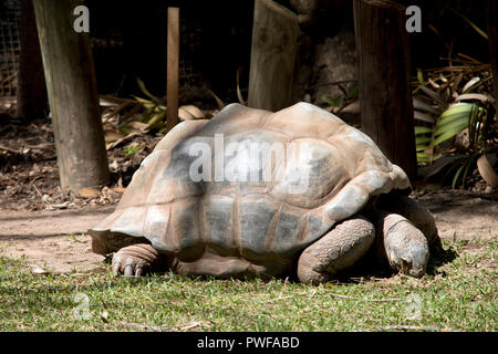 the giant Aldabra tortoise is eating the grass - Stock Photo