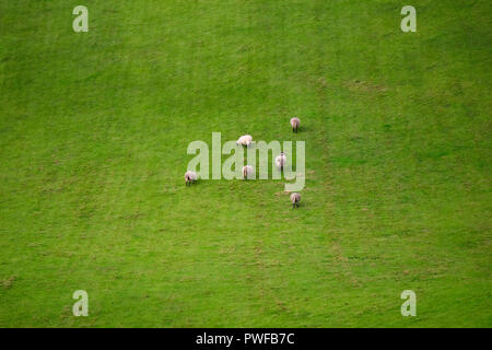 Flock of sheep glazing in the meadow in Northern Ireland, near Torr head and Ballycastle - Stock Photo