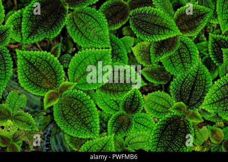 Pilea mollis is a species of flowering plant in the family Urticaceae. It is used as an ornamental plant, particularly the cultivar 'Moon Valley'. - Stock Photo