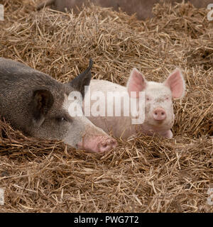 lucky little pink pig lying on straw with a brown other pig - Stock Photo
