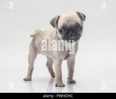 Cute pug dog on white background. - Stock Photo