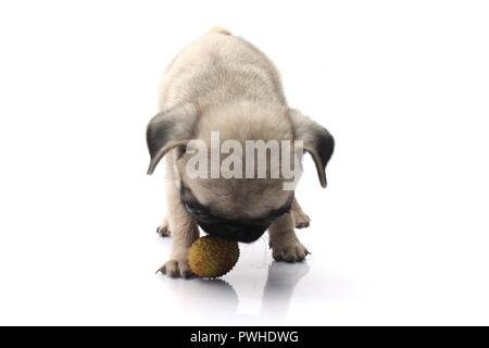 Cute Pug Dog Plays With Ball Isolated On White Background. - Stock Photo