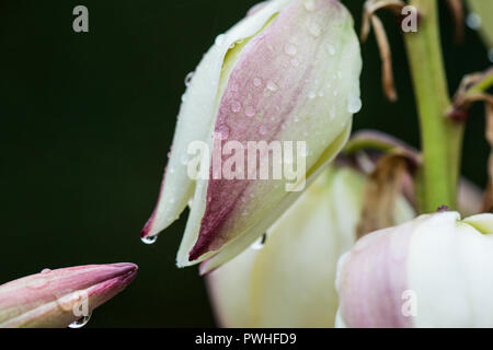 Raindrops on the flowers of a Spanish dagger (Yucca gloriosa) - Stock Photo